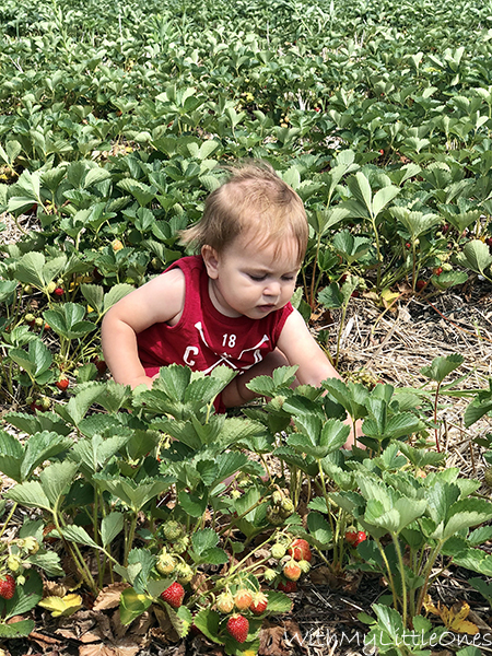 Strawberry picking at Quinn Farm